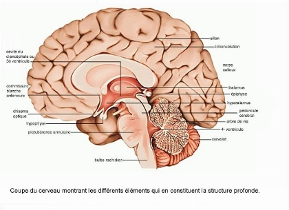 cerveau (500x363) (420x305)