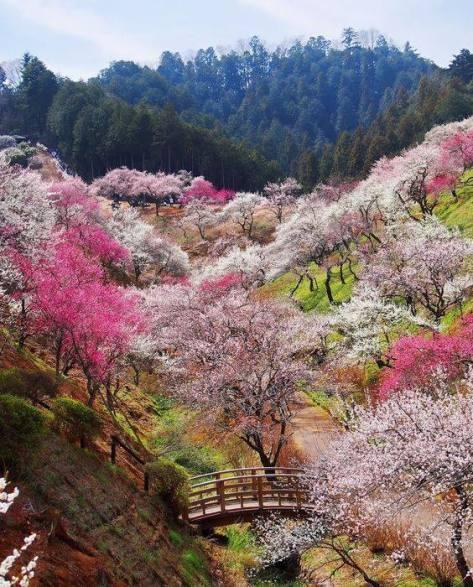 japon-fleuri