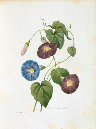 Trichterwinde / Redoute - Morning Glory / Redoute -