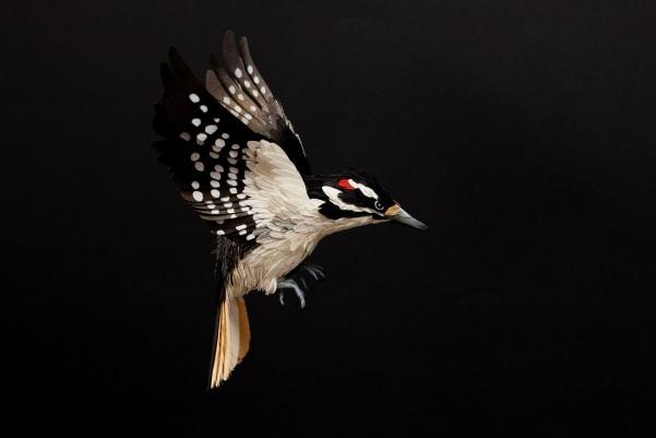 Hairy wodpecker