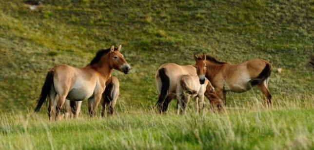 cheval przewalski 031