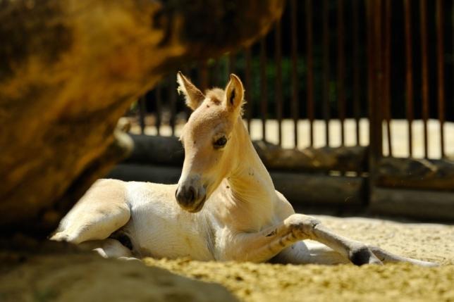 cheval przewalski 07