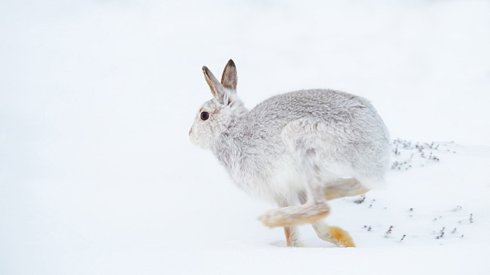 Mountain hare running (Lepus timidus) in winter snow, Scottish Highlands, Scotland, United Kingdom