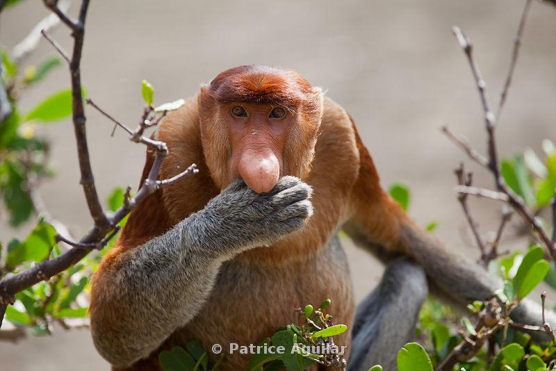 Nasique / Proboscis monkey