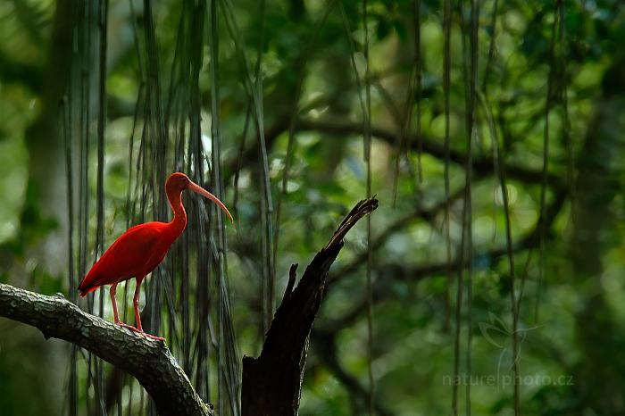 Ondřej Prosický ibis rouge mangrove