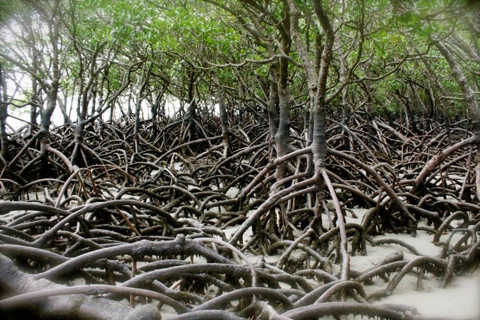 racines echasses mangrove