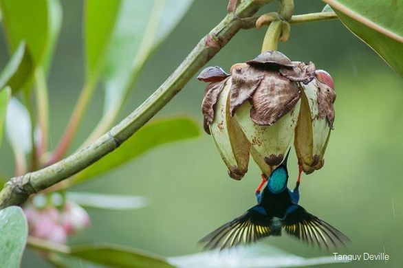 tanguy deville oiseaux guyane guit guit sai