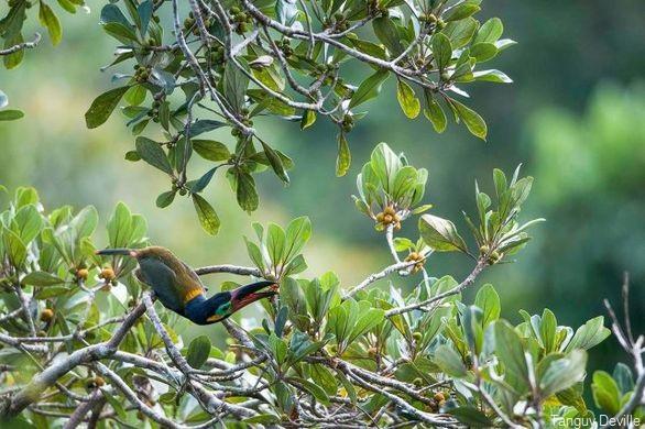 tanguy deville oiseaux guyane toukanet koulik 02 - Copie