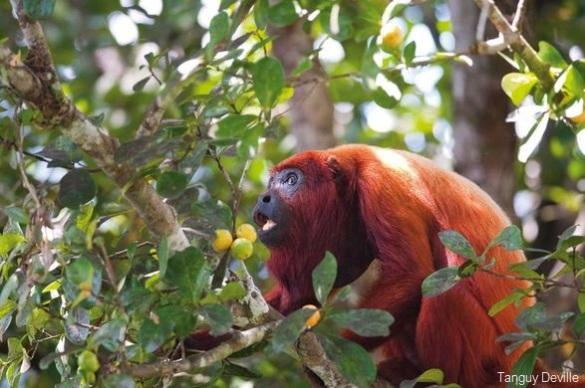 tanguy deville singe hurleur oiseaux guyane