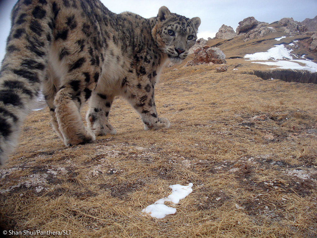 panthere neiges panthera uncia 02
